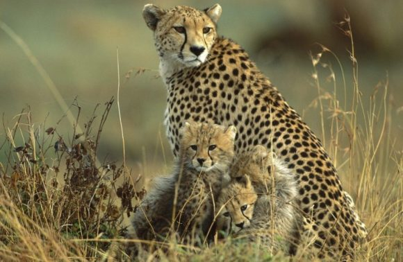 8 Days Masai Mara , Hells Gate, Amboseli, Ngorongoro & Tarangire Safari